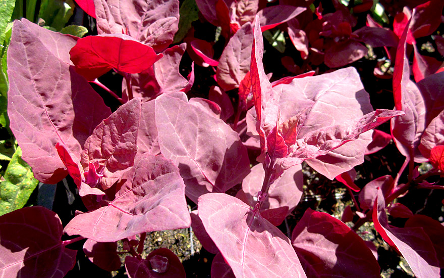 Gartenmelde, rotblättrig (Saatgut)
