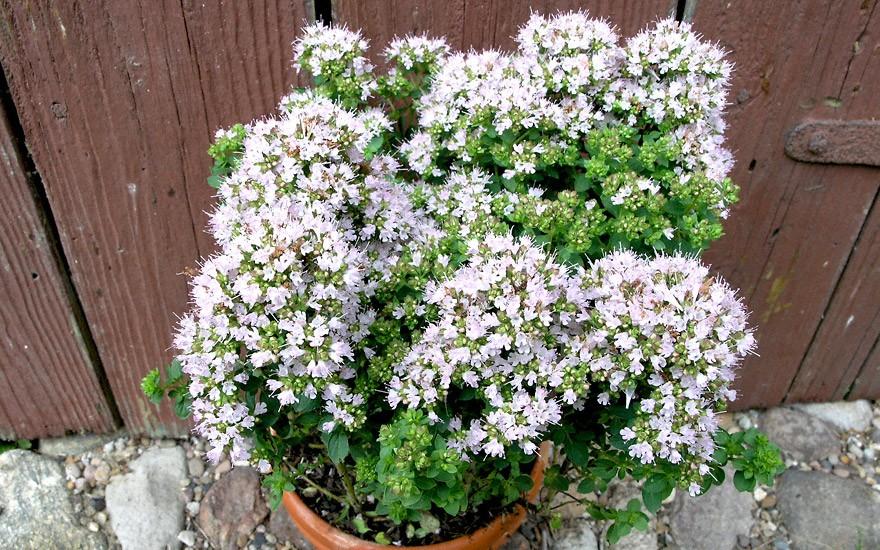 Sibirischer Oregano (Pflanze)