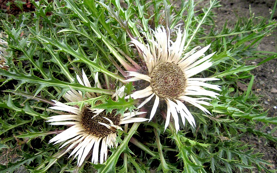 Silberdistel (Pflanze)