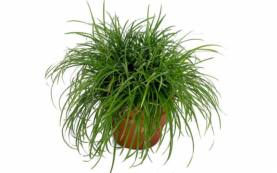 indisches nussgras saatgut cyperus rotundus gr ser gagelstrauch guduchi pflanzen. Black Bedroom Furniture Sets. Home Design Ideas