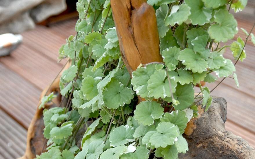 Gundelrebe, weißbunt (Pflanze)