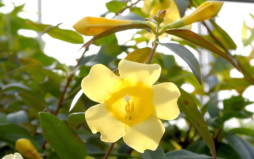 Gelber Jasmin (Pflanze)