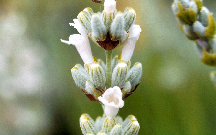 Provence-Lavendel, weiß blühend (Pflanze)