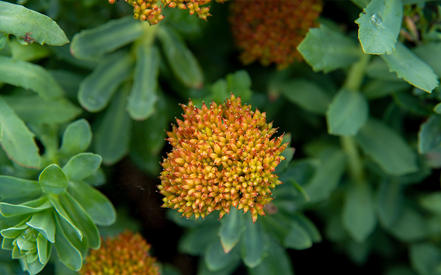 Rosenwurz (Pflanze)