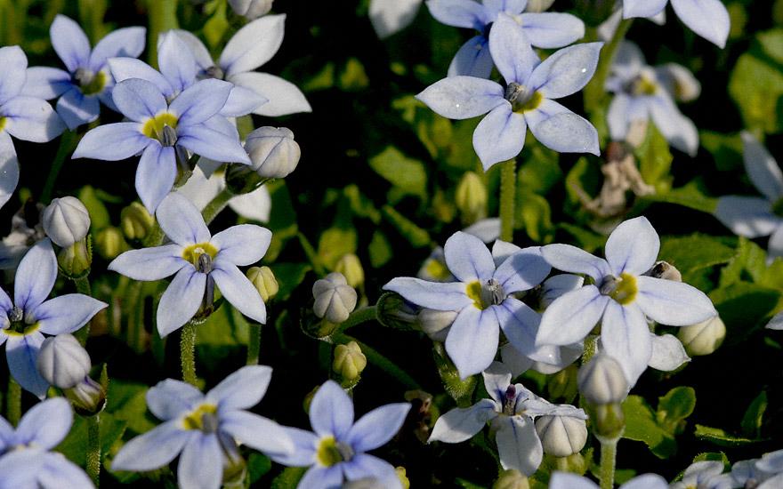 Gaudich (Pflanze)