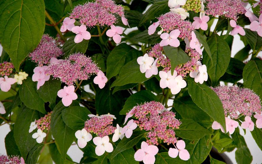 japanische tee hortensie pflanze hydrangea serrata 39 oamacha 39 s e teekr uter teekr uter. Black Bedroom Furniture Sets. Home Design Ideas
