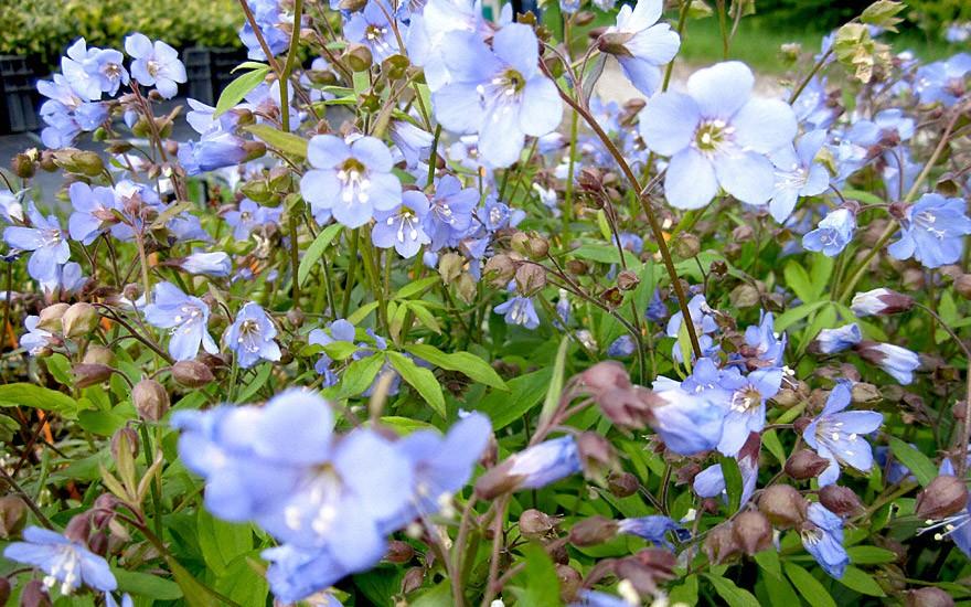 Kriechende Jakobsleiter (Pflanze)
