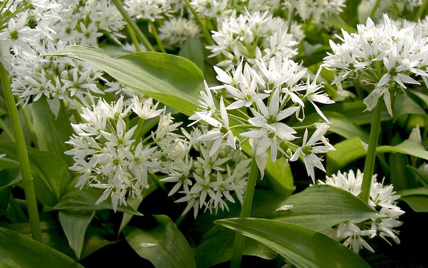Bärlauch (Pflanze) - Allium Ursinum