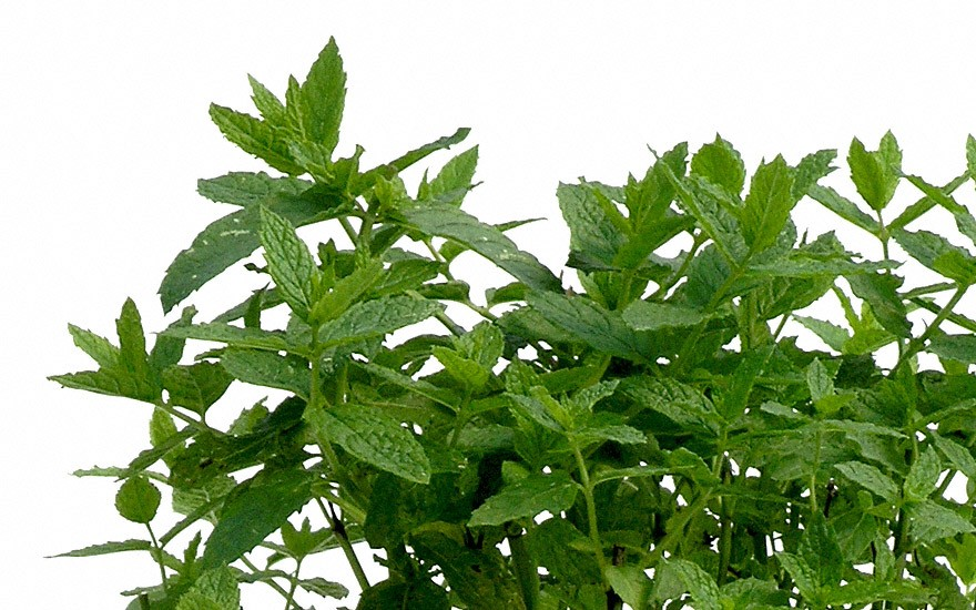Mojito-Minze (Pflanze)