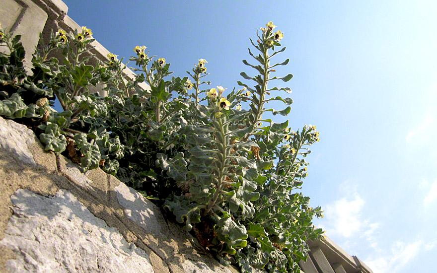 Schwarzes Bilsenkraut (Pflanze)