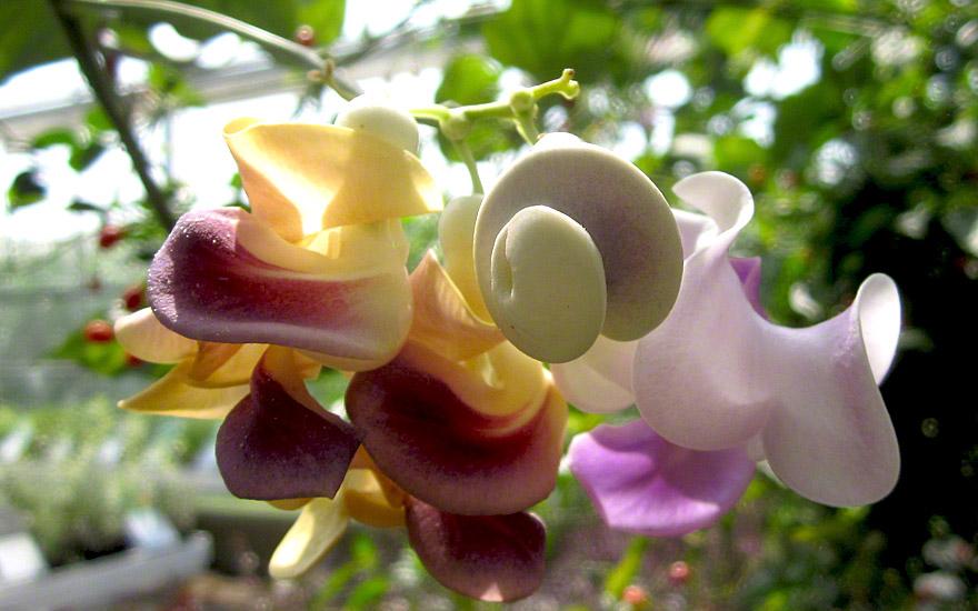 Schneckenbohne (Pflanze)