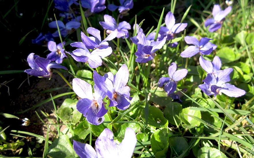 Duftveilchen (Pflanze)