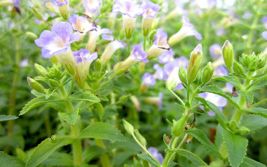Rau Om (Pflanze)