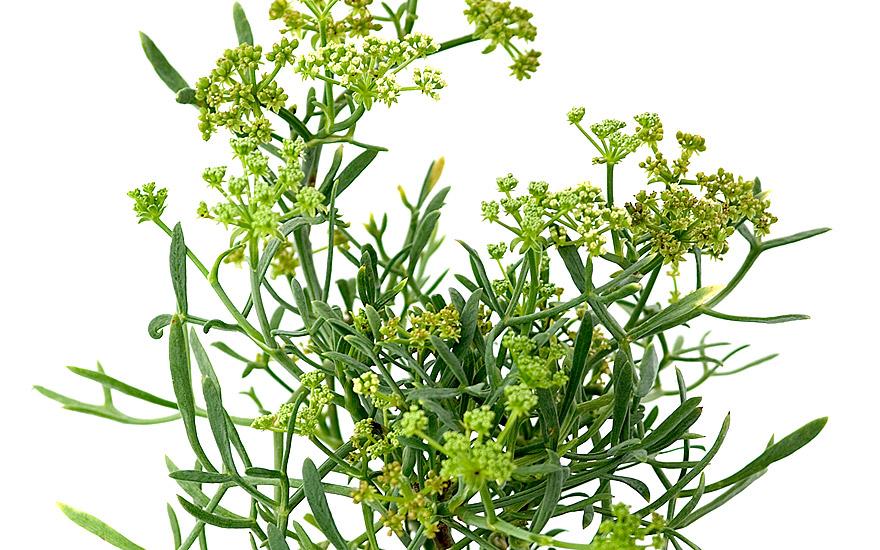 Meerfenchel (Pflanze)