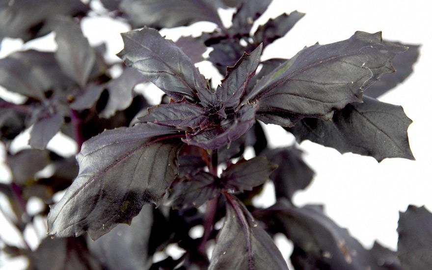 Basilikum 'Purple Delight' (Saatgut)