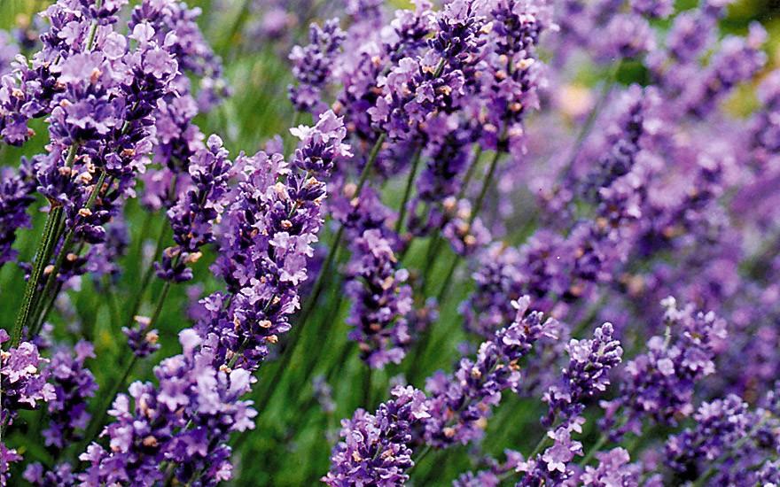 Lavendel 'Munstead' (Saatgut)