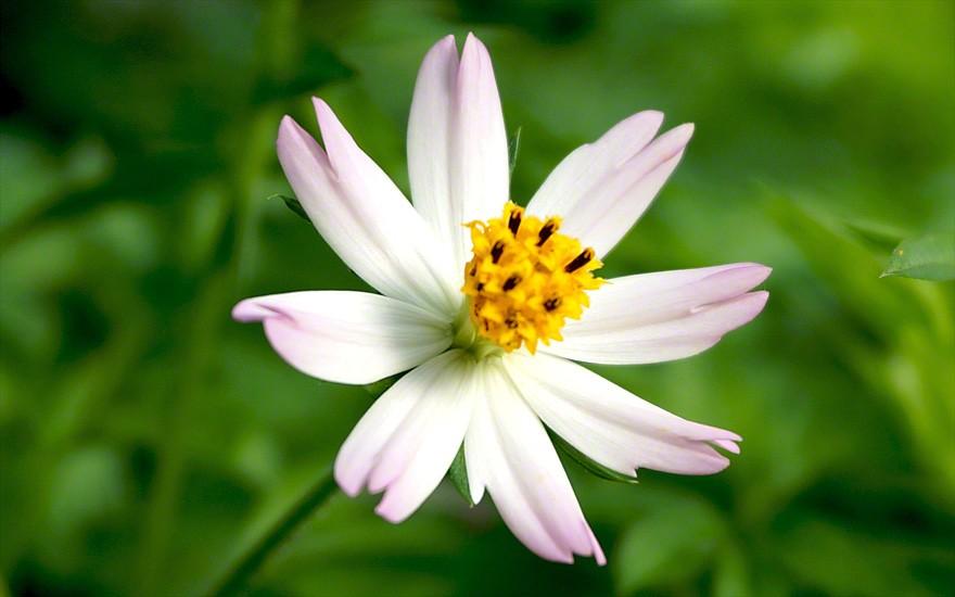 Die schönen essbaren Blüten erscheinen erst im Herbst