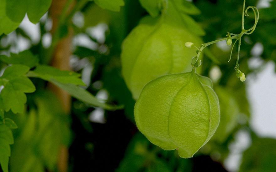 Herzsame (Ballonrebe) (Saatgut)