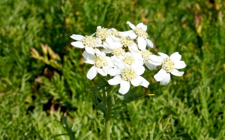 Iva (Moschus-Schafgarbe) (Pflanze)