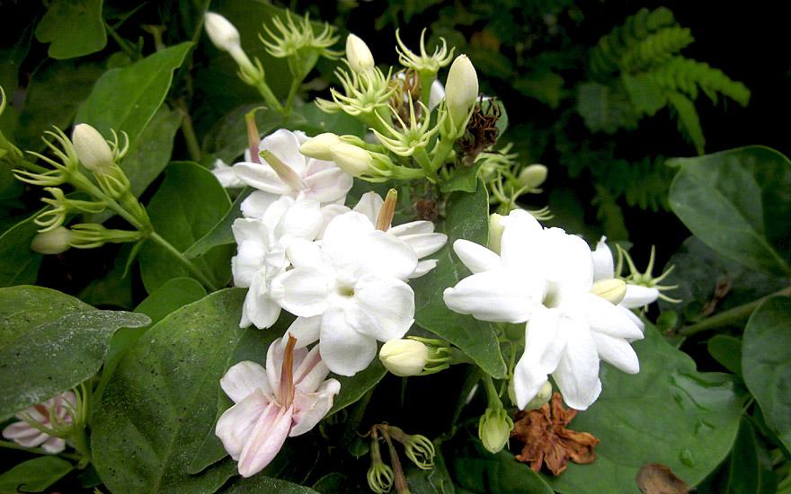 Indischer Jasmin Pflanze Jasminum Multiflorum Jasmin