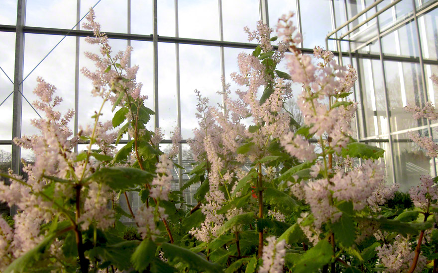 Iboza (Pflanze)