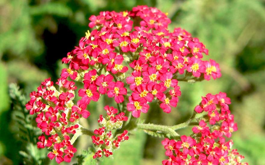Rote Schafgarbe (Pflanze)