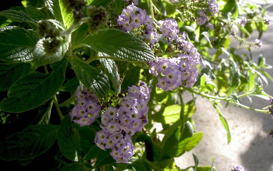 Heliotrop, hellblau (Pflanze)
