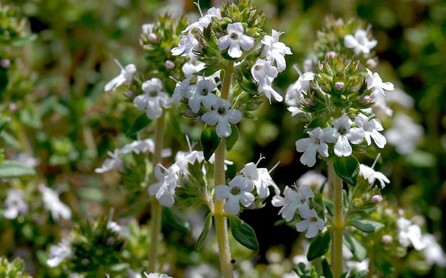 Orangenthymian, aufrecht (Pflanze)