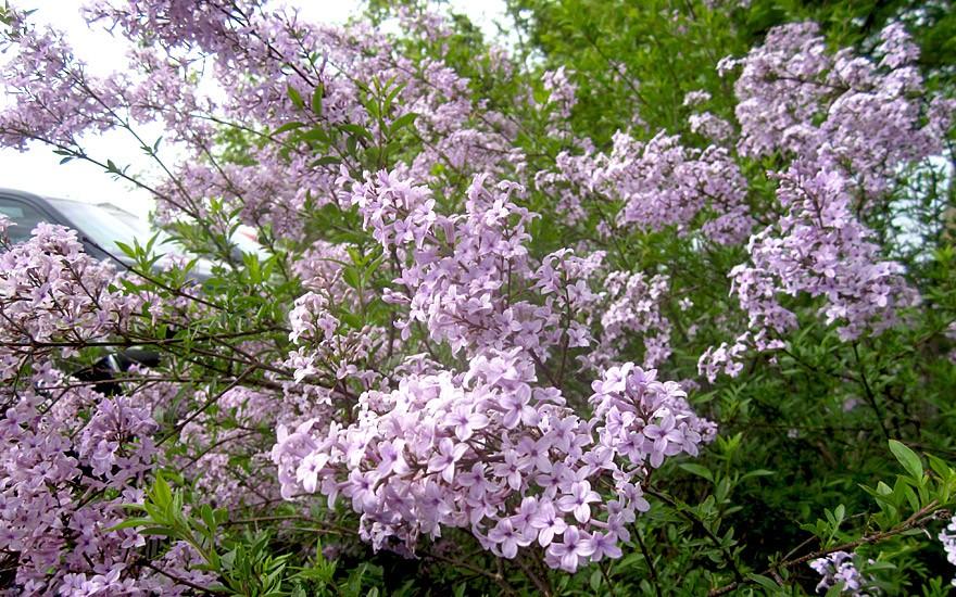 Persischer Flieder (Pflanze)