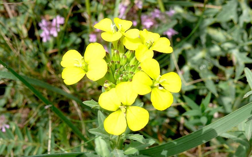 Honig-Schöterich (Saatgut)