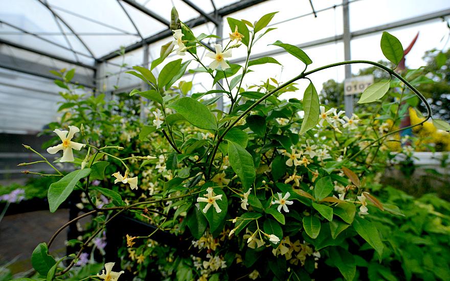 Japanischer Sternjasmin (Pflanze)