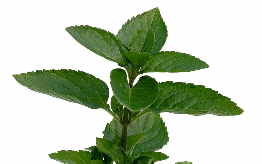 Englische Grüne Minze (Pflanze)