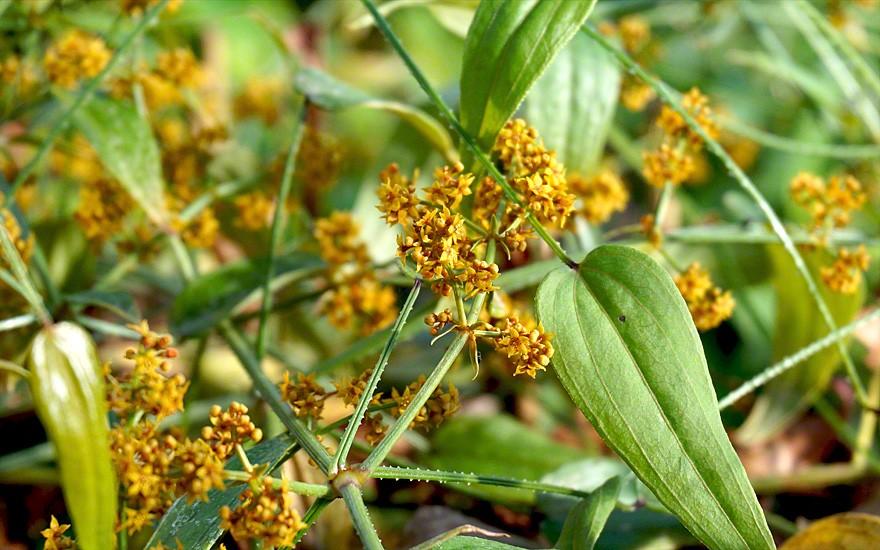 Tibetischer Krapp (Pflanze)