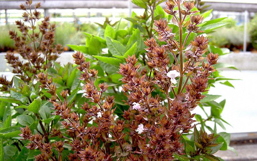 Zyprisches Strauchbasilikum (Pflanze)
