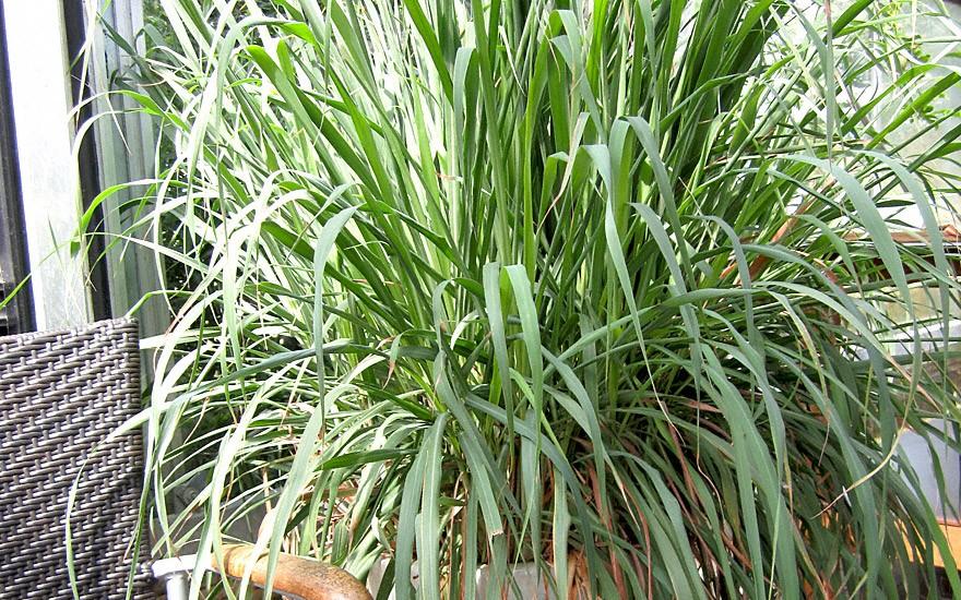 Lemongras (Zitronengras) (Pflanze)