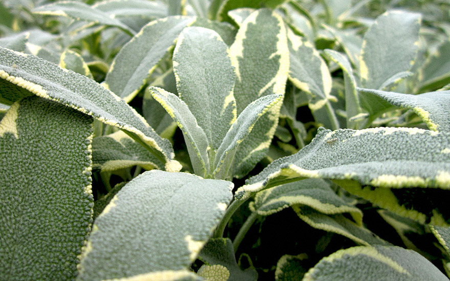 Salbei 'Creme de la Creme' (Pflanze)
