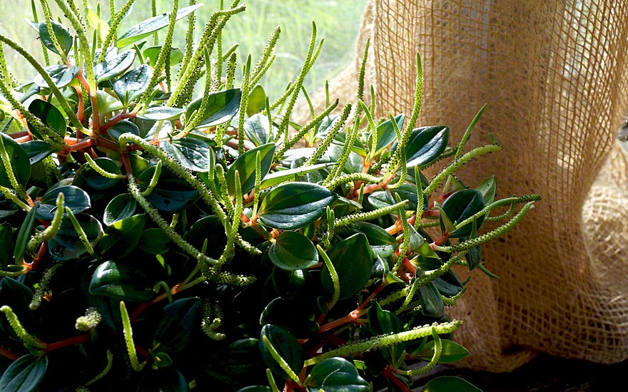 Marianen-Peperomie (Pflanze)