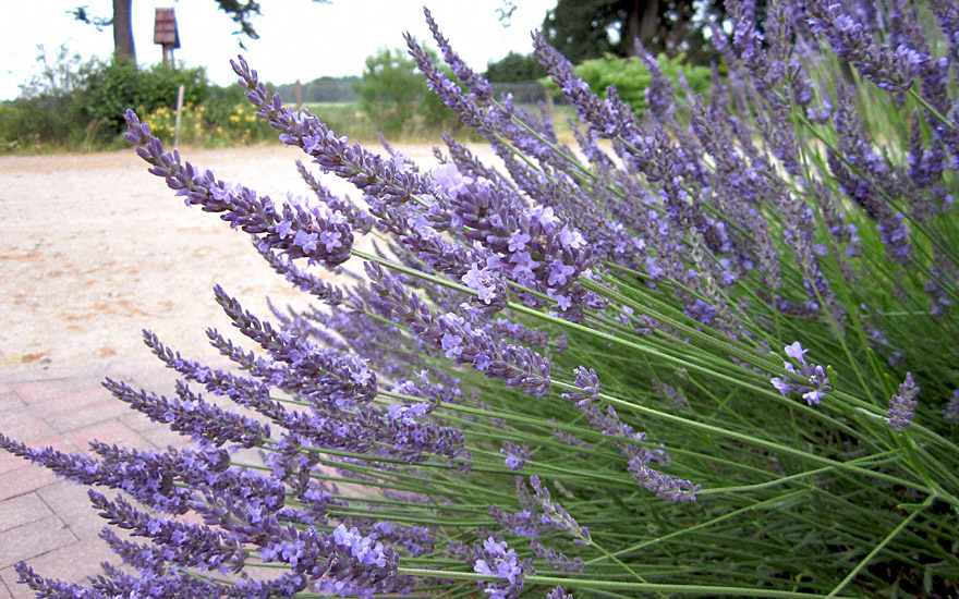 provence lavendel 39 felibre 39 pflanze lavandula x intermedia lavendel labkraut lungenkraut. Black Bedroom Furniture Sets. Home Design Ideas