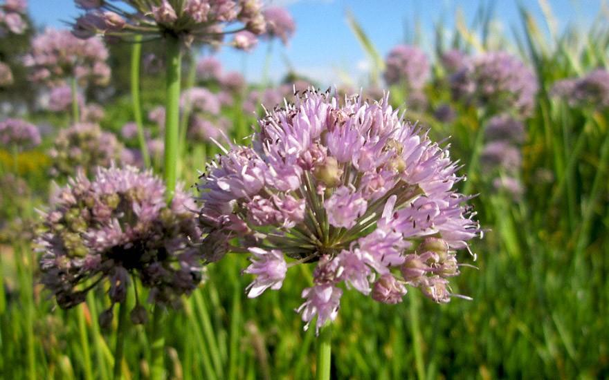 Schnittknoblauch, rosa (Pflanze)