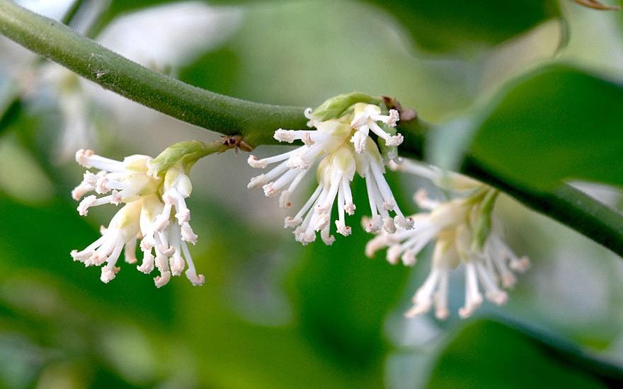 Fleischbeere (Pflanze)