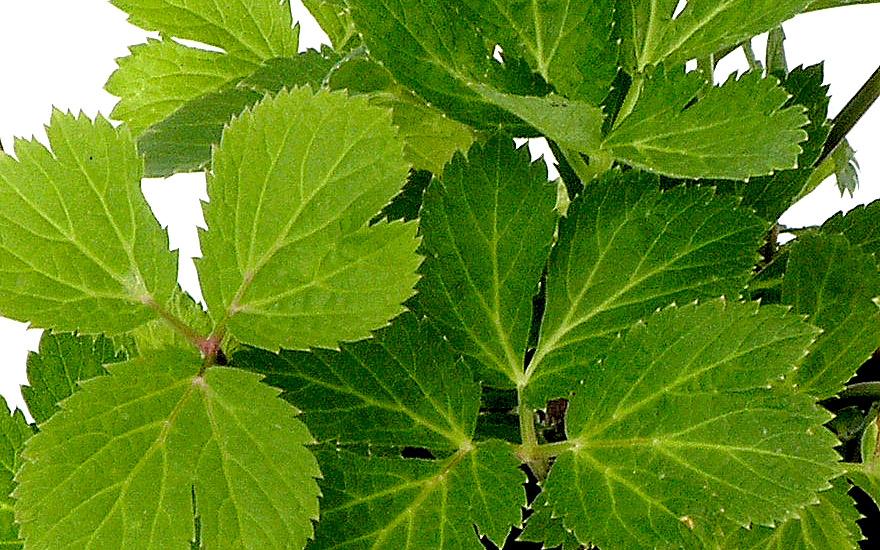 Meisterwurz (Pflanze)