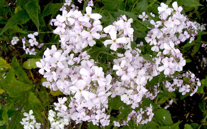 Nachtviole, weiß blühend (Saatgut)