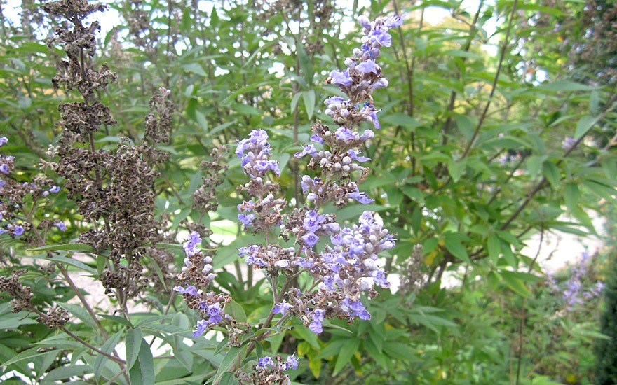 Mönchspfeffer (Pflanze)