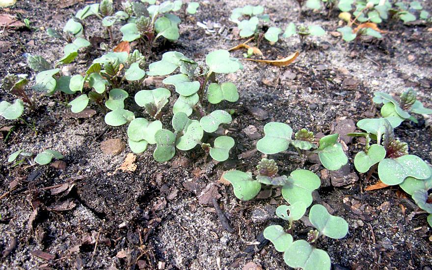 Äthiopischer Senf 'Carina' (Saatgut)