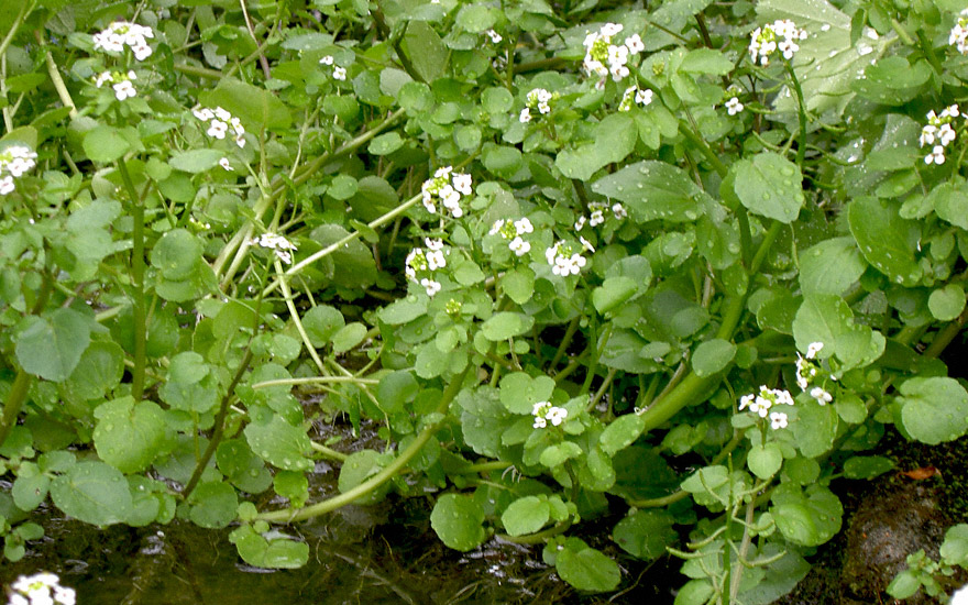 Brunnenkresse (Pflanze)