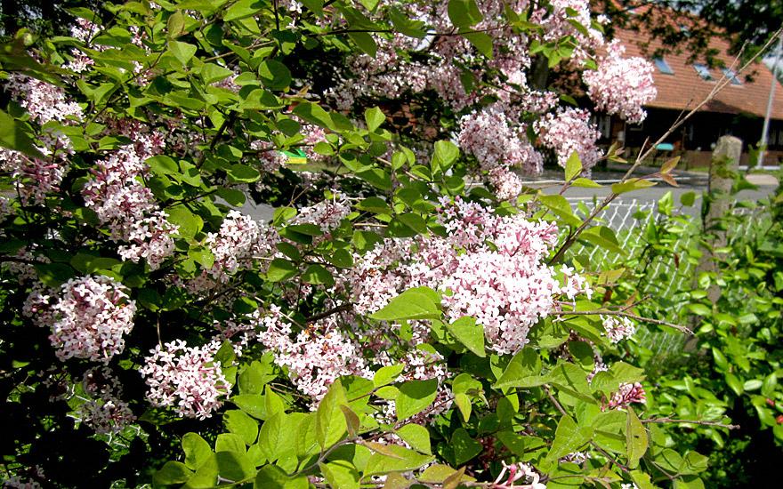Herbst-Flieder (Pflanze)
