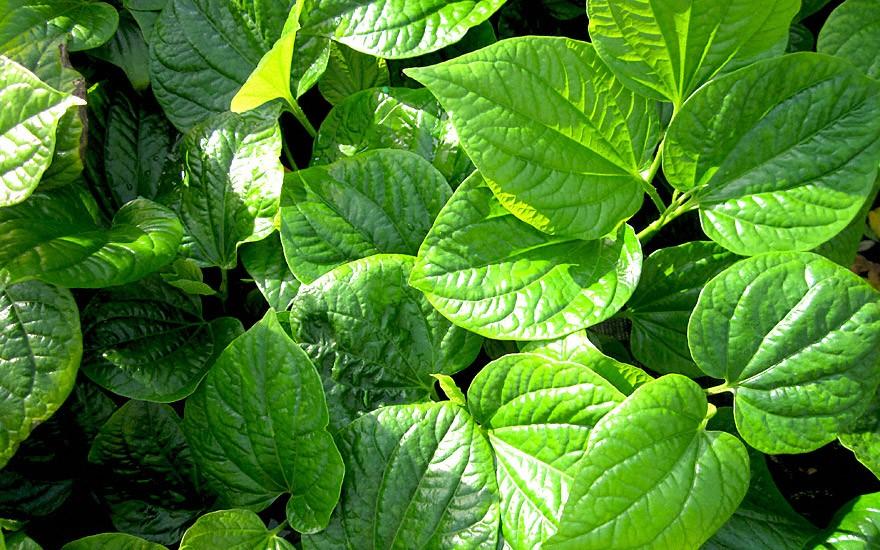 La Lot (Vietnamesisches Pfefferblatt) (Pflanze)