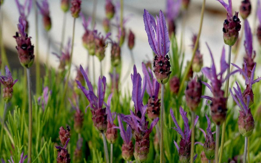 Schopflavendel (Pflanze)