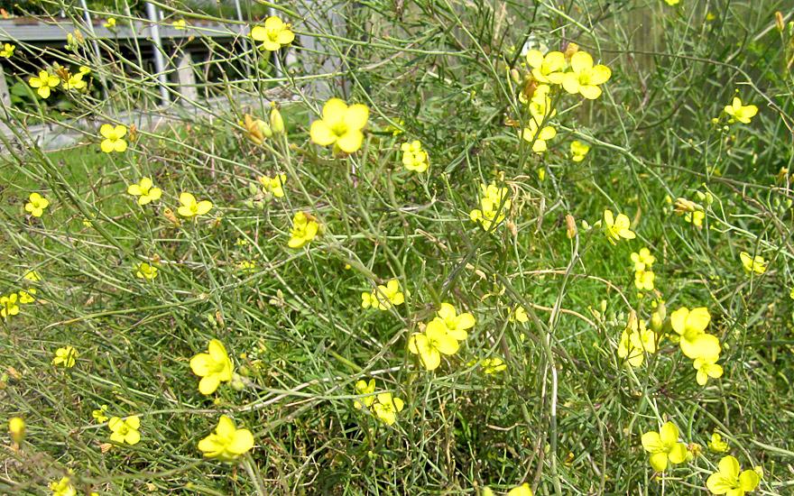 Italienische Rauke, Wildform (Pflanze)