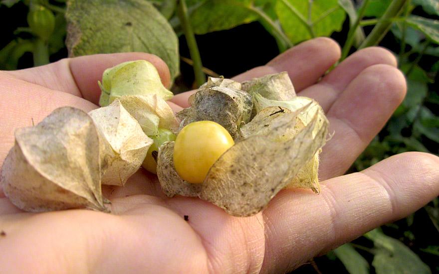 Ananaskirsche (Saatgut)